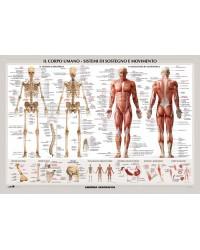 Corpo Umano - Muscoli /...